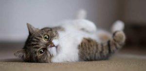 cat flops down